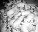 Dead Guinea pigs piled up in a Vivisection lab