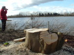 Illegally felled trees at Thrupp Lake