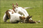 Hare Coursing: kept alive in Ireland through financial sponsorship