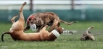 Hare coursing cruelty at Irish Cup event