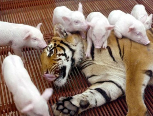 one celtic tiger will not be spawning capitalist piggies or slavic tigers