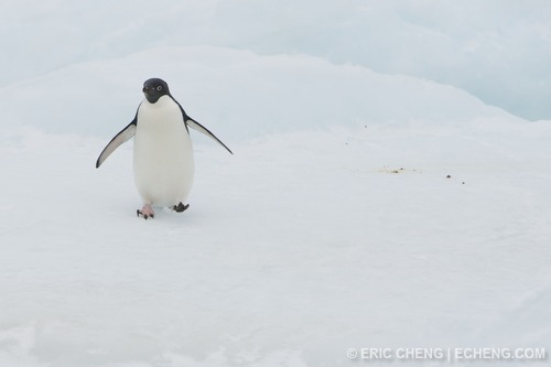 A penguin on an iceberg in Antarctica
