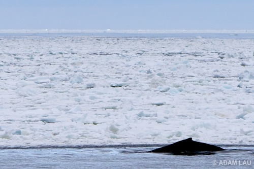 A minke whale surfaces at the edge of the sea ice in Antarctica