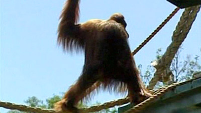 Karta the orangutan attempts escape from Adelaide Zoo, Australia