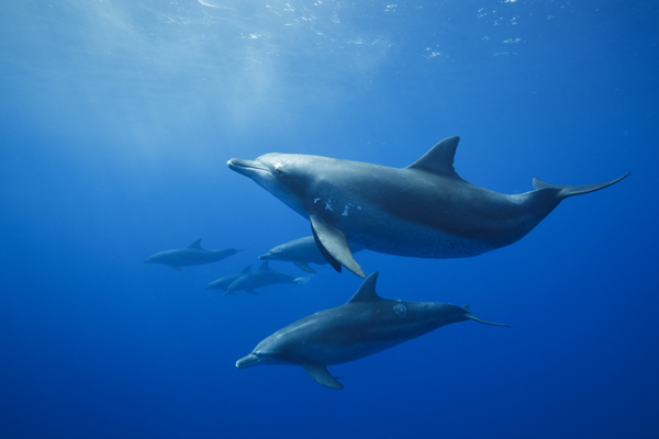 Bottlenose dolphins in the wild. Photo © Eric Cheng echeng.com