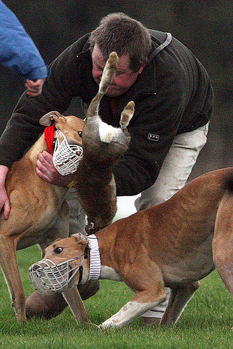 Another hare comes to grief at a coursing event...