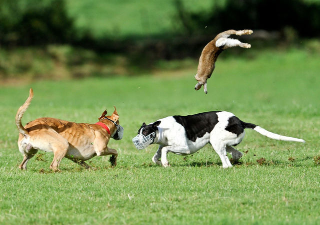 A hare is tossed by a coursing greyhound. Fans love this...